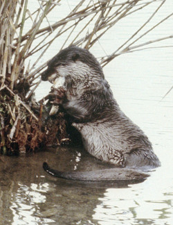 """A photo of the """"last"""" Japanese river otter"""
