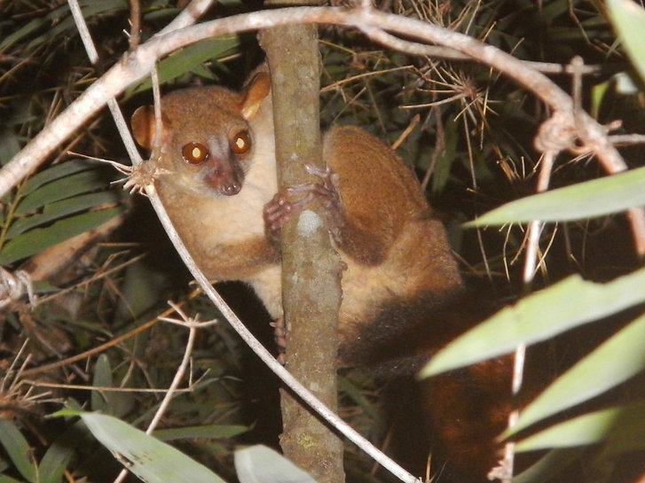 The recently discovered northern giant mouse lemur (Mirza zaza)