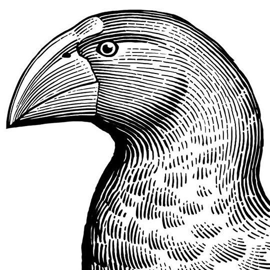 A portrait of a New Caledonian gallinule