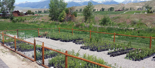 We Can Harvest Starts Directly From Project Sites Or Grow Rooted Stock And Hold Plants In Our Nursery