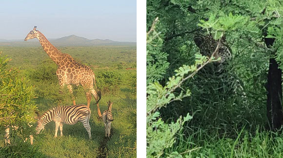 Giraffe, zebras, and the elusive leopard | photo credit: Nancy Wheeler
