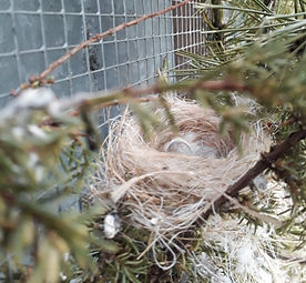 Kanarien Nest mit Eier