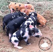 PorkchopxHamster18 litter.jpg