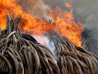 How Political Photo-Ops Push Elephants Nearer Extinction