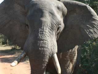 Unintended Consequences of China's Ivory Ban?