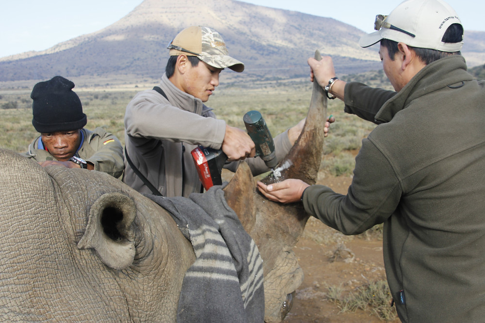 Stephan & Peter Tam of Tam Safaris microchipping horn of darted rhino.