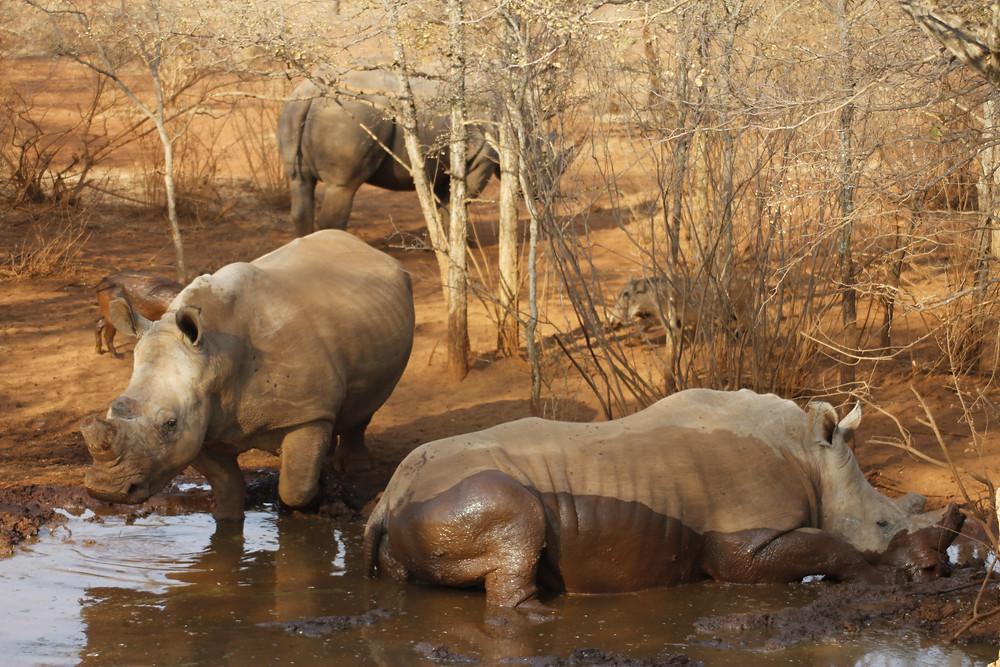 Rhino's re-grow horn.