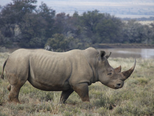 When is a Good Rhino a Dead Rhino?