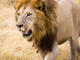 USFWS Ruling is Killing the African Lion