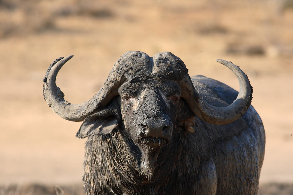 "A real ""dagga"" boy.  Dagga is the Swahili word for ""mud,"" which is commonly found on wallowing cape buffalo, especially with older solitary bulls that are no longer part of a herd."