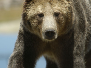 Un-bear-able Obstructionism of the Grizz