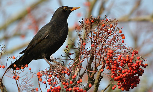 Blackbird by Jonathan Fry.