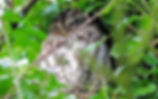 Tawny Owl, Martin Mere