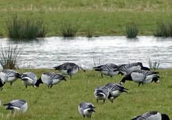Hybrid Barnacle Goose