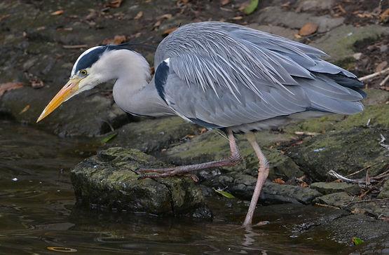 Grey Heron by Jonathan Fry.