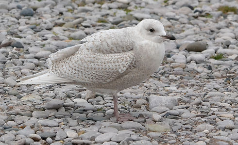 Iceland Gull by Jonathan Fry.