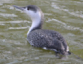 Red Throated Diver, Fairhaven Lake