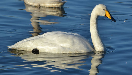 Whooper Swan by Jonathan Fry.