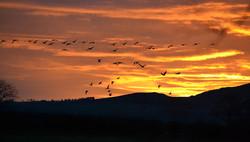 Barnacle Geese against setting sun