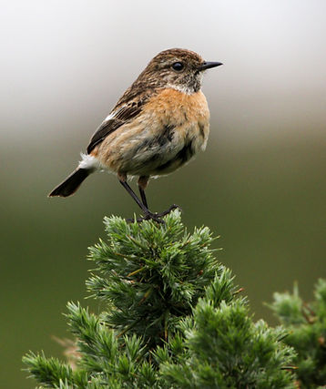 Stonechat by Carol Brown.