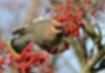 Waxwing, Barrow, Lancashire by Jonathan Fry.