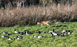 Barnacle Geese and Roe Deer