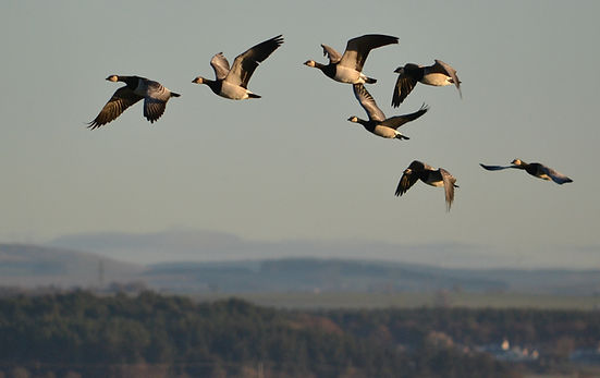 Barnacle Geese by Jonathan Fry.