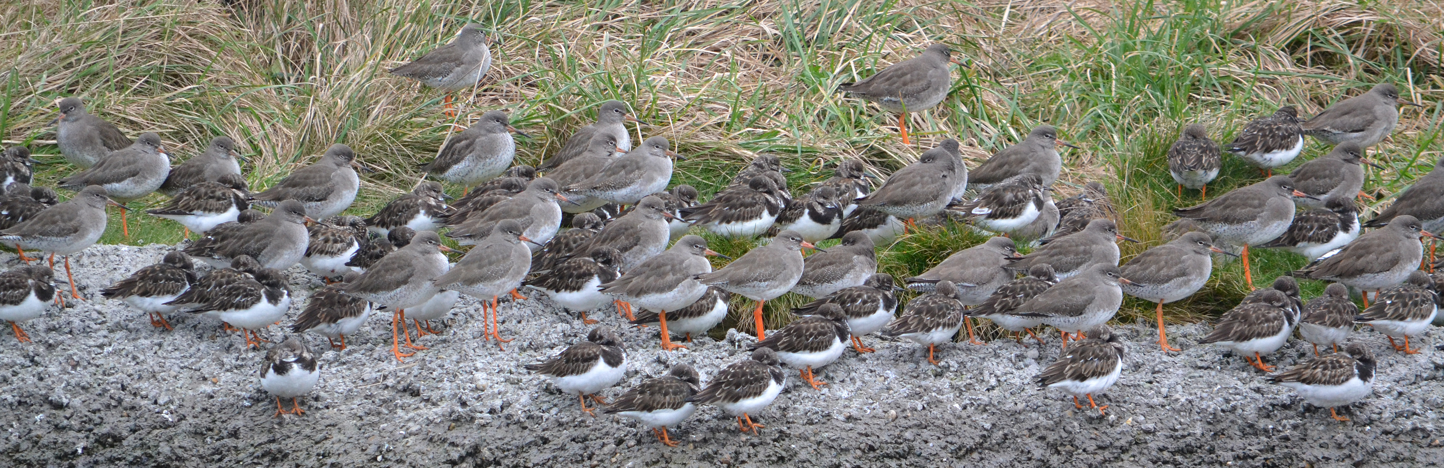 Redshank and Turnstone roosting