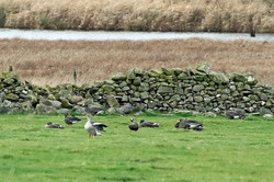 Greenland White Fronted Geese
