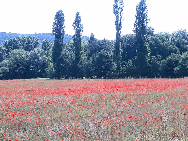 Poppy field Goudargues.jpg