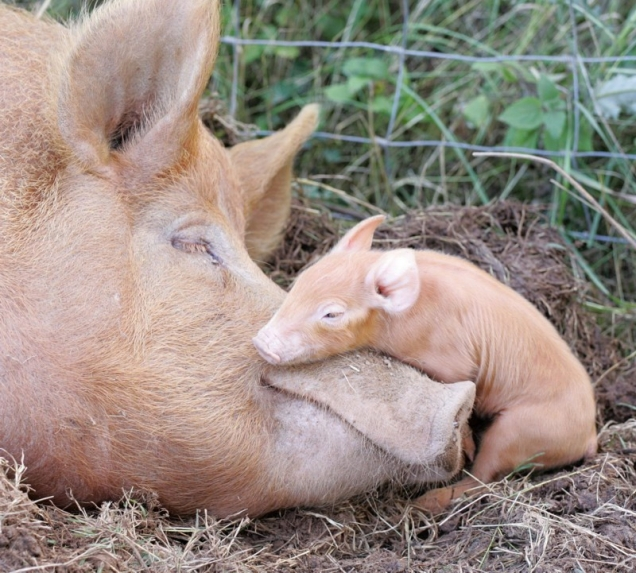 Sweet pig mommy and baby