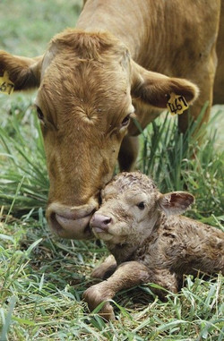 mama and baby cow