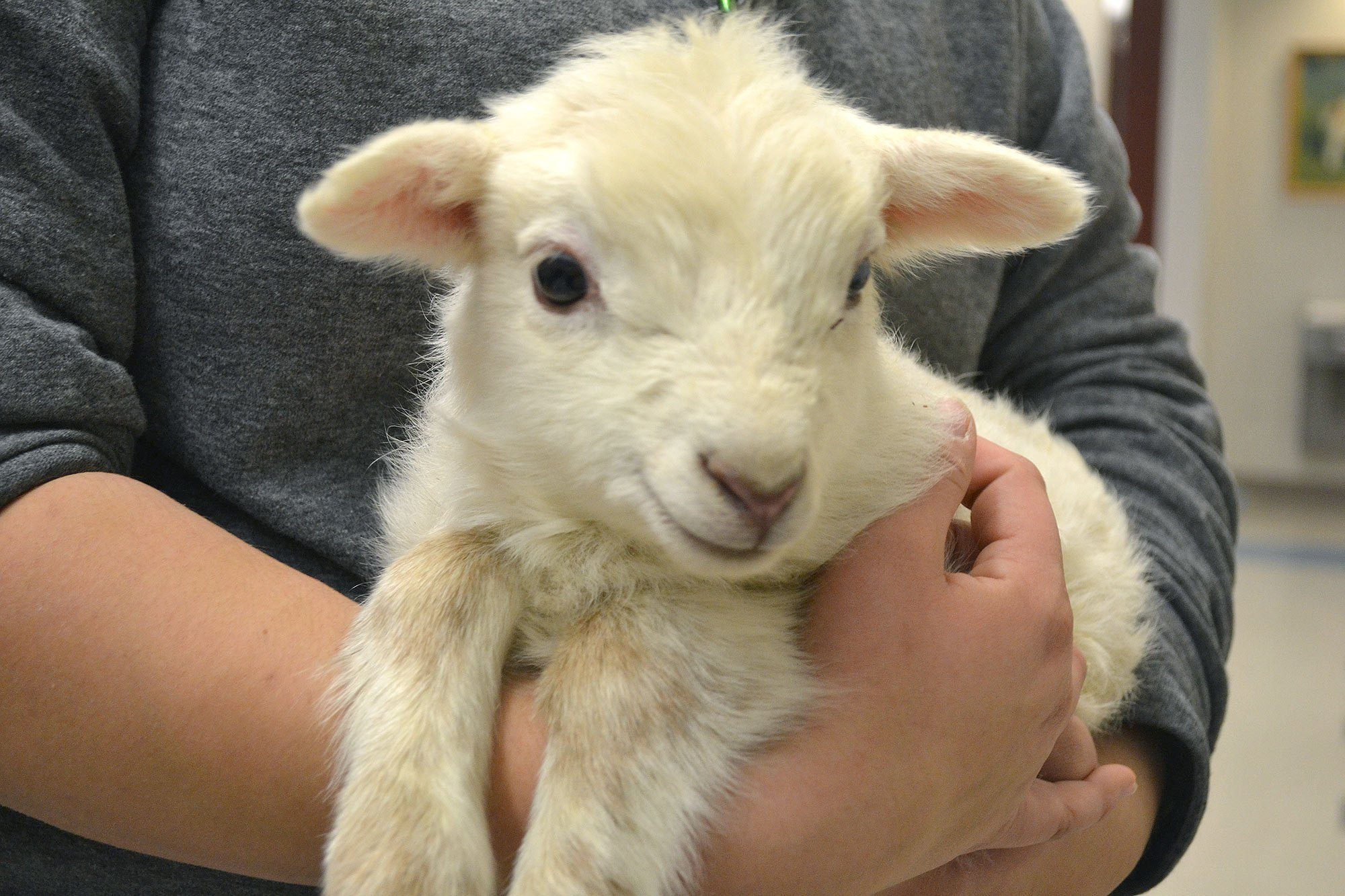 Beautiful baby sheep