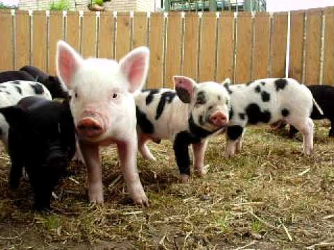 Adorable piglets
