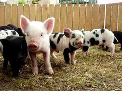 Adorable piglets