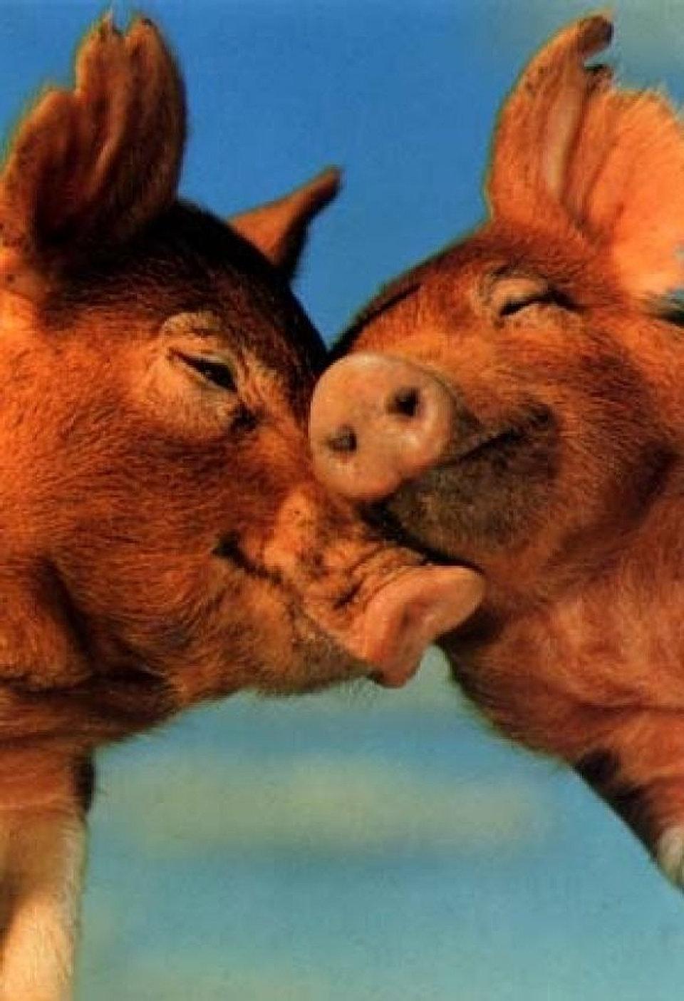 Прикольные картинки влюбленные свинки, днем рождения ахмедик