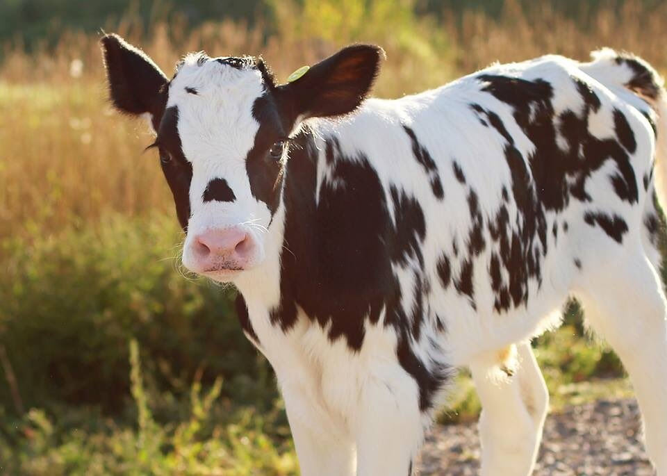Beautiful baby cow