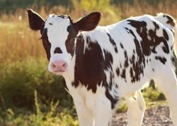 Beautiful baby cow