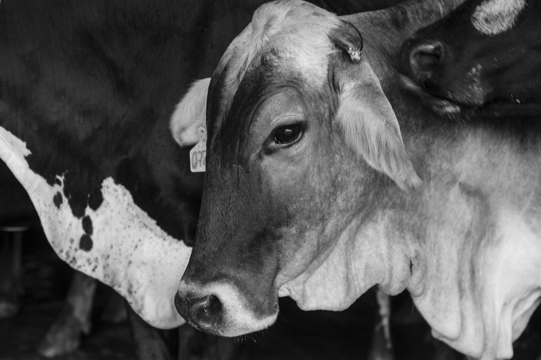 Venezuela Dairy Farm