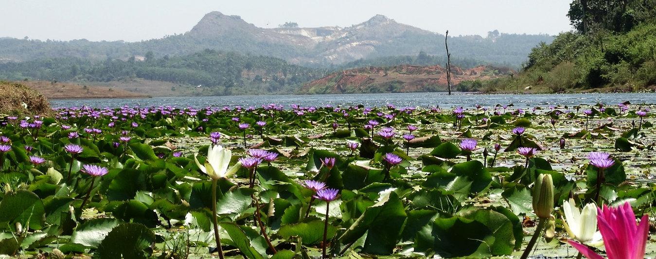 Wasserlilien, Wayanad, Kerala, Indien