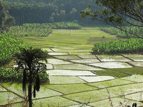 Reisfelder: Ayurveda Kur in Kerala, Indien