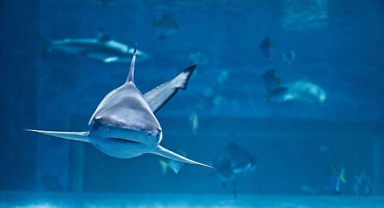 shark-fish-aquarium-predator-water-divin