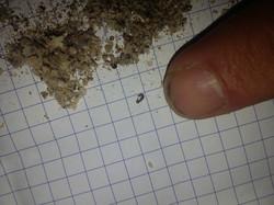 Raccolta insetti trattati
