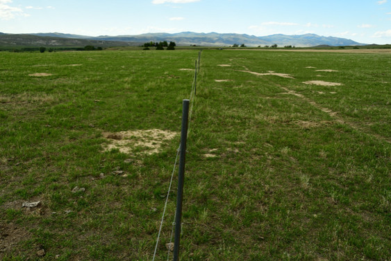 Typical treated pasture July 2020 (left side of fence is lightly grazed, right side of fence typical grazing).  Bare patches are due to rodent activity.