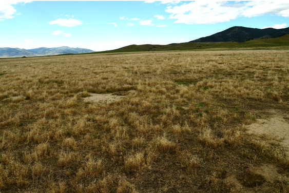 Typical untreated pasture July 2020. Perennial grasses are uncommon in this pasture area.  Light colored vegetation is annual grass from earlier in the growing season.