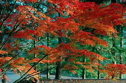Fall Maple.JPG