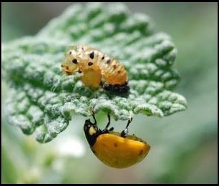 newly molted ladybug