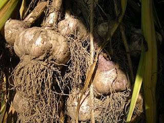 newly dug garlic