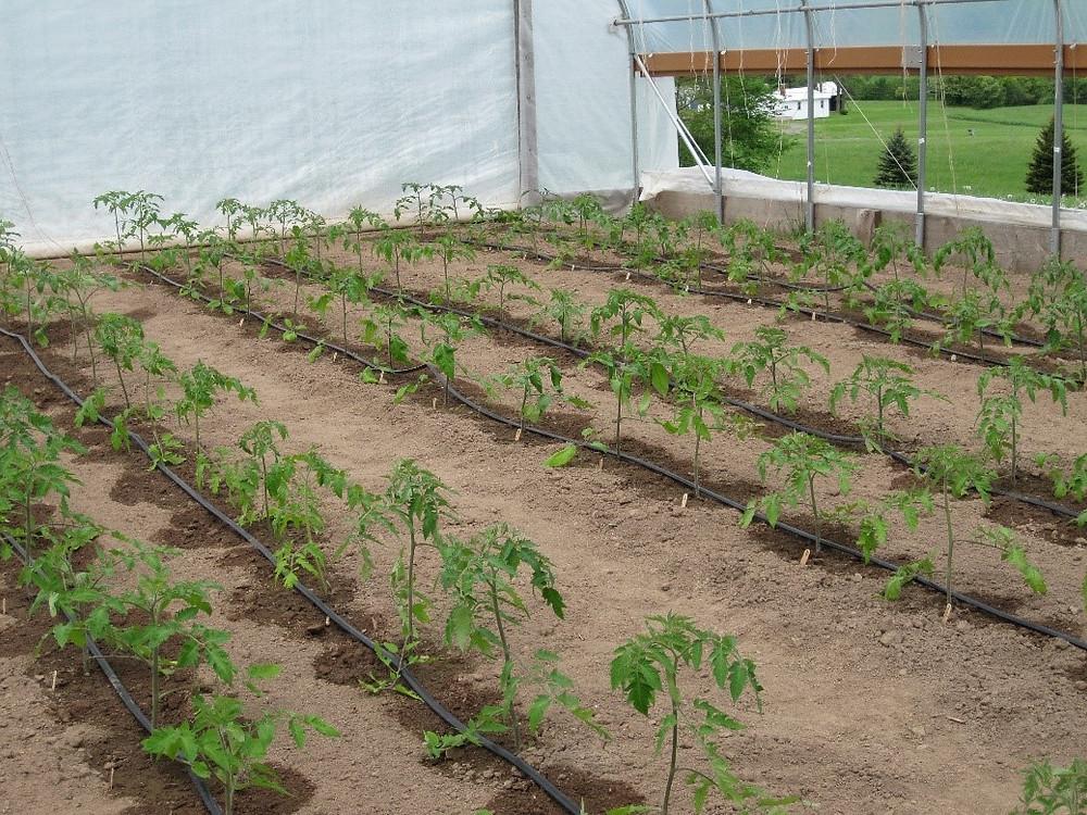 irrigating greenhouse tomatoes