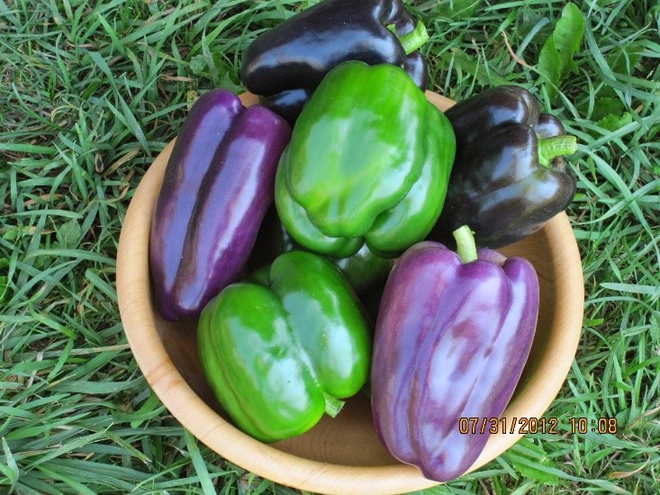 purple & green bell peppers